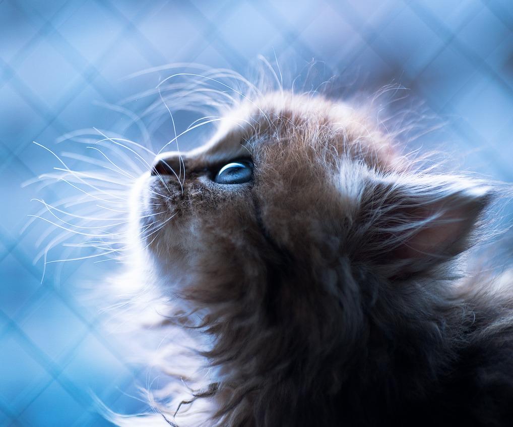 Голубоглазый котенок Дейзи