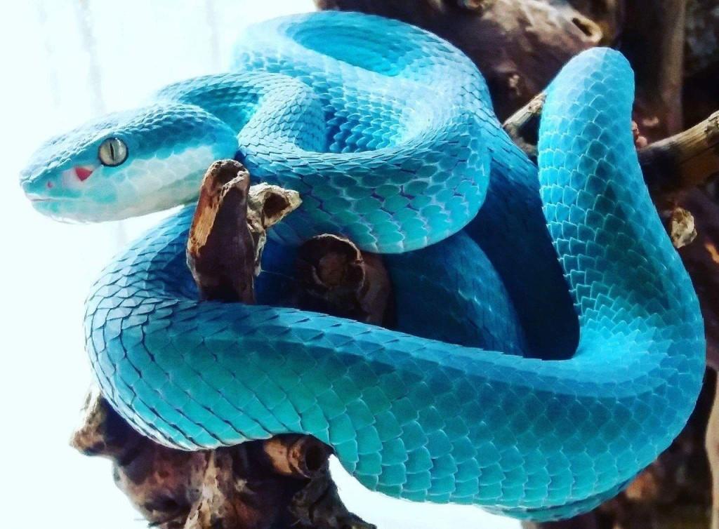 что испытывает синяя змея картинка урон