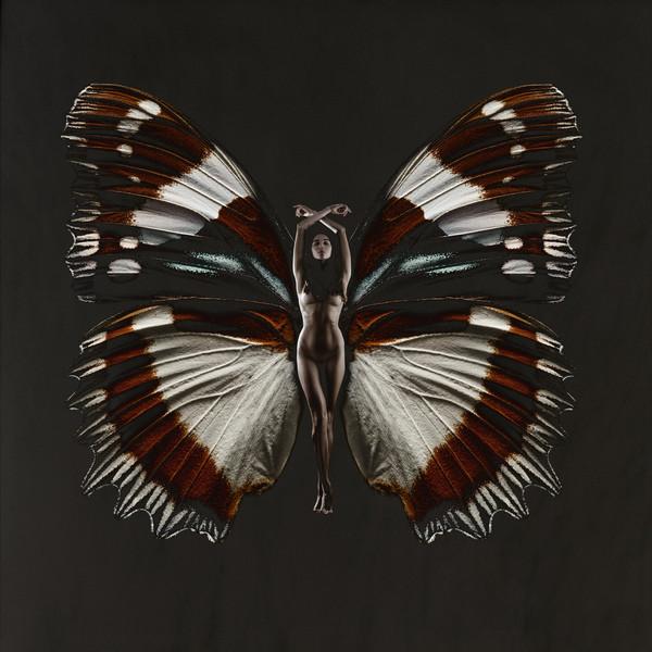 Бабочка психея картинка